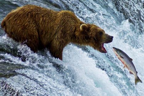 salmon-swimming-upstream